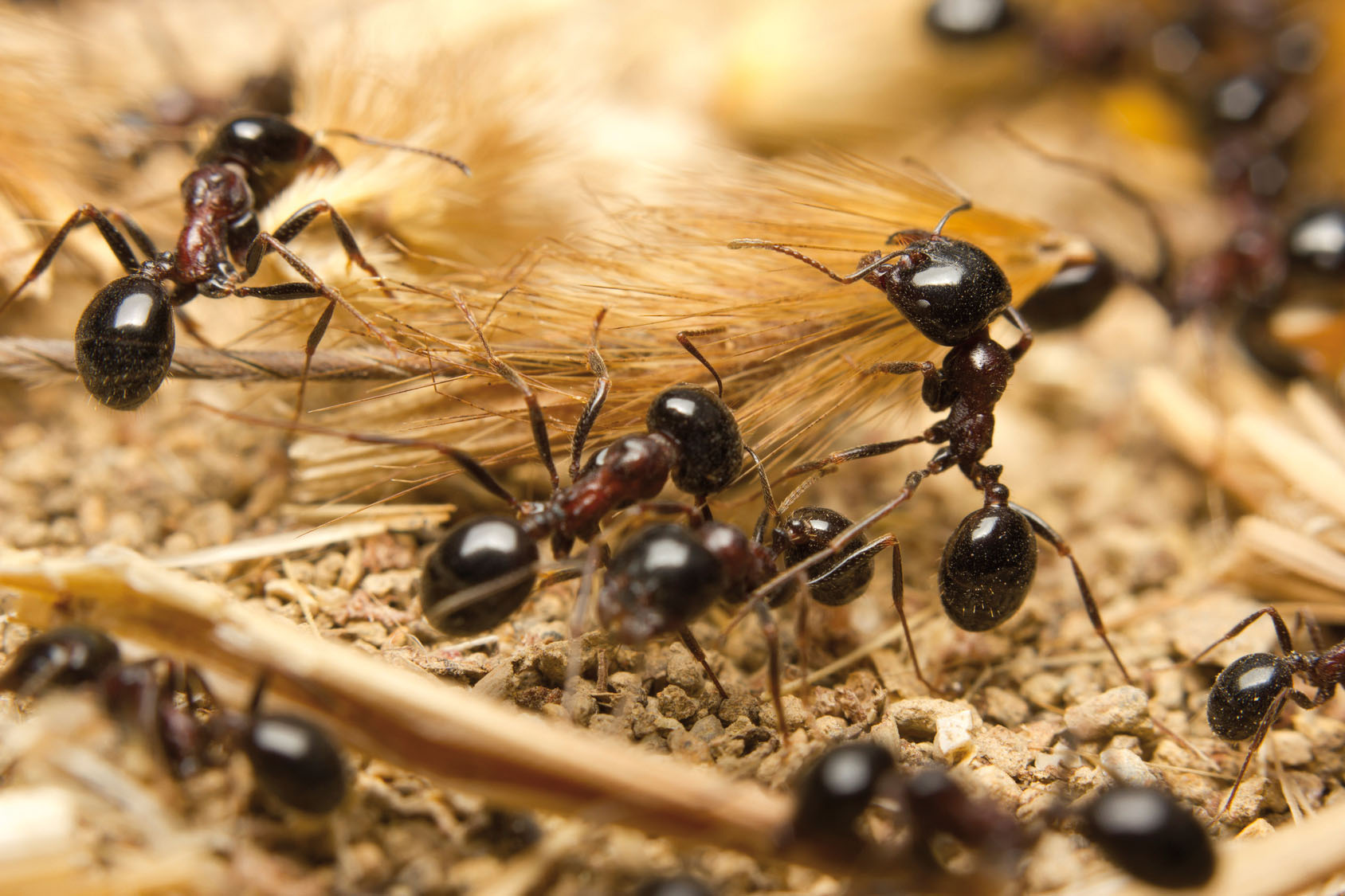 Ameisen (c)Fotolia