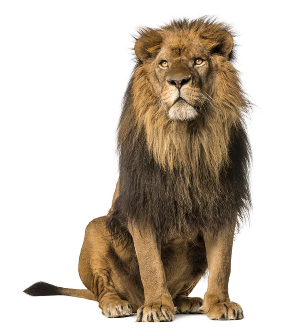 Lion sitting, looking away, Panthera Leo, 10 years old, isolated on white (c)Fotolia