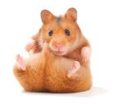 Hamster (c)Fotolia