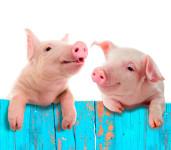 Schweine (c)Fotolia